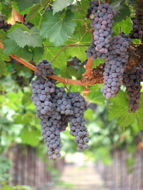 grapescloseup